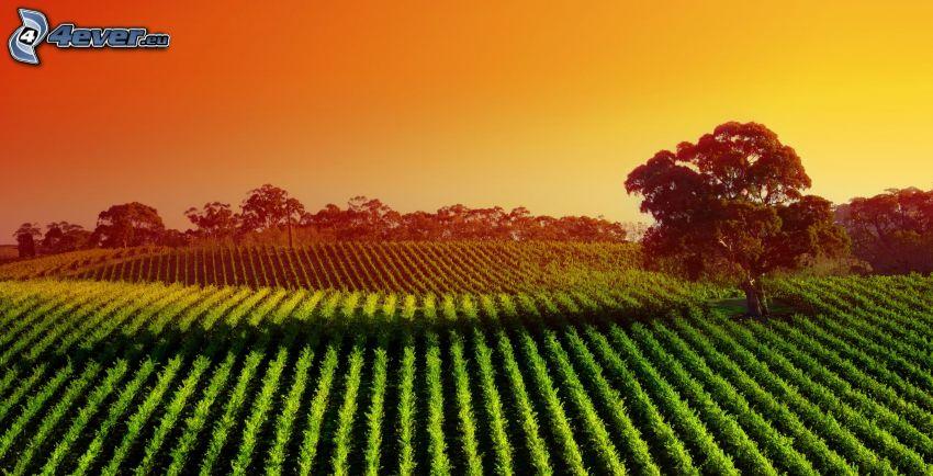 campo, albero solitario, cielo arancione