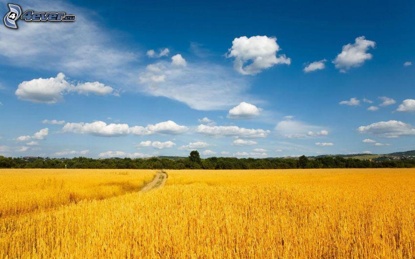 campo di frumento, cielo, nuvole, foresta