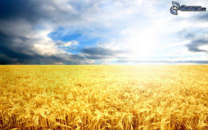 campo di frumento, cielo