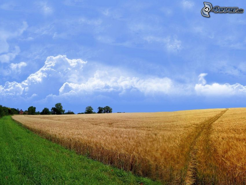campo di frumento, cielo blu, nuvole