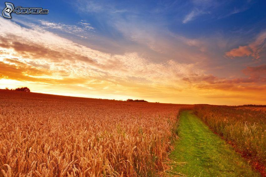 campo di frumento, cielo di sera