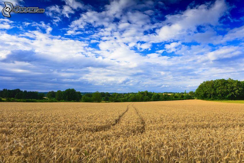 campo di frumento, nuvole, cielo, alberi