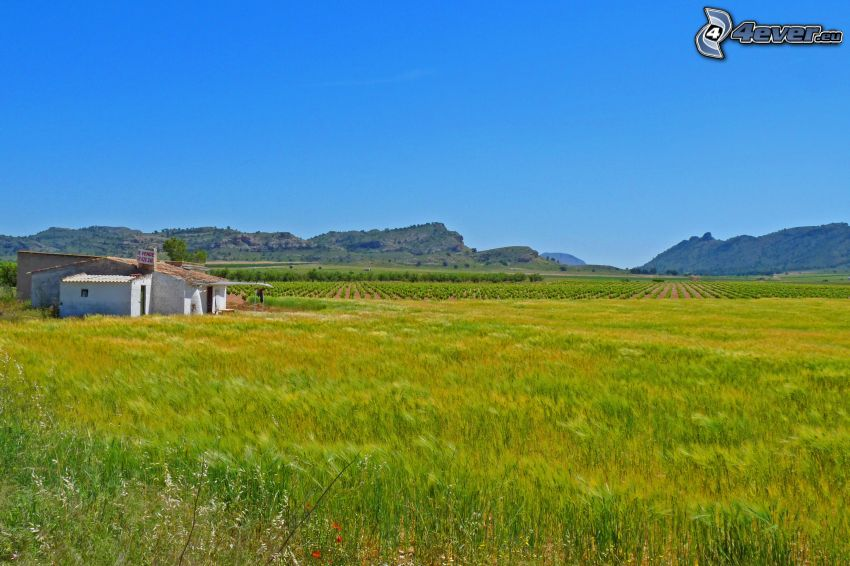 campo di grano verde, campi, montagna, vecchia casa