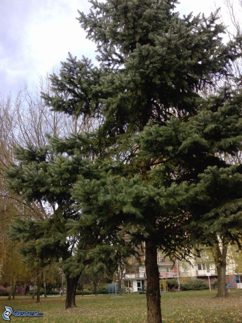 conifera, albero, abete, parco, blocco di appartamenti