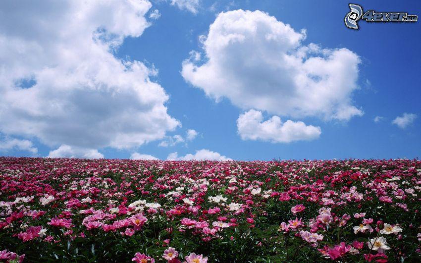 fiori rossi, nuvole