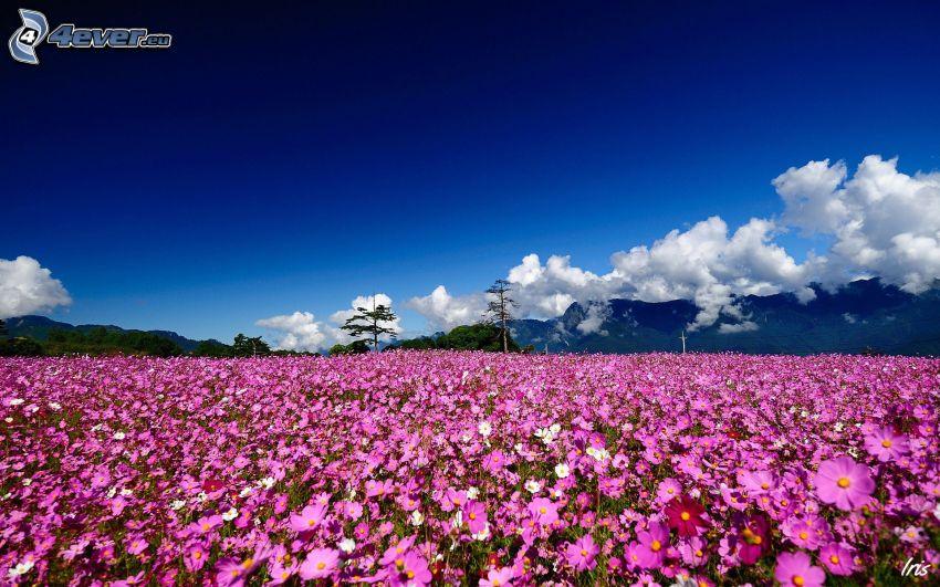 fiori viola, montagna, nuvole, prato