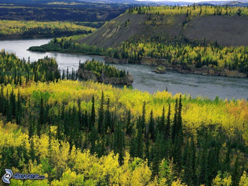 fiume Yukon, bosco di conifere, alberi gialli