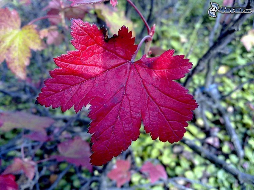 foglia d'autunno, foglia rossa