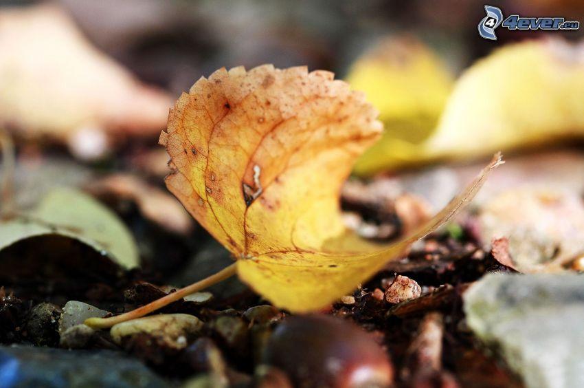 foglia d'autunno, foglie gialle