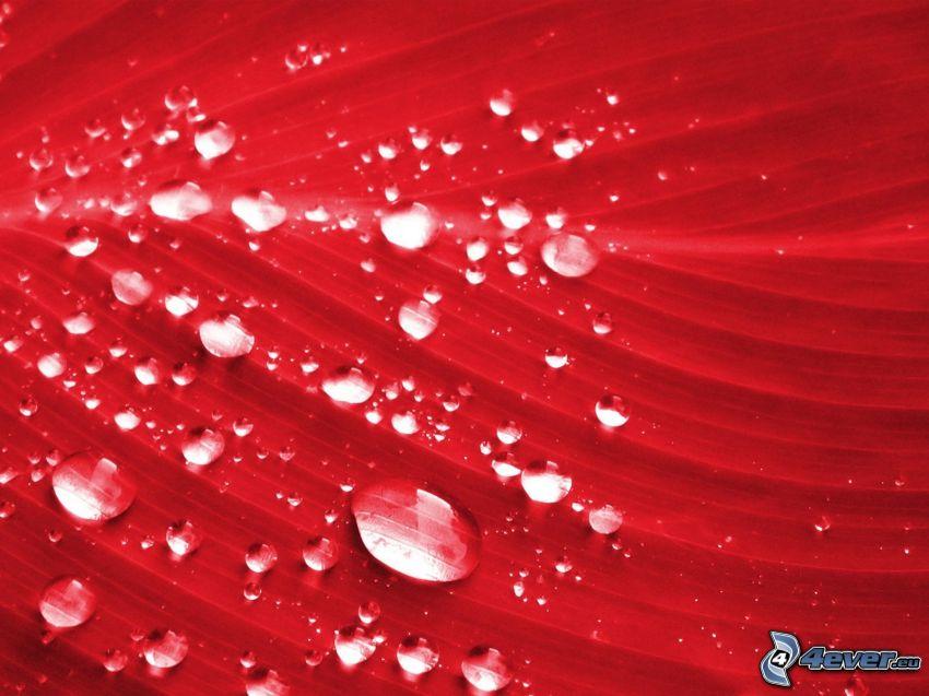foglia rossa, gocce d'acqua