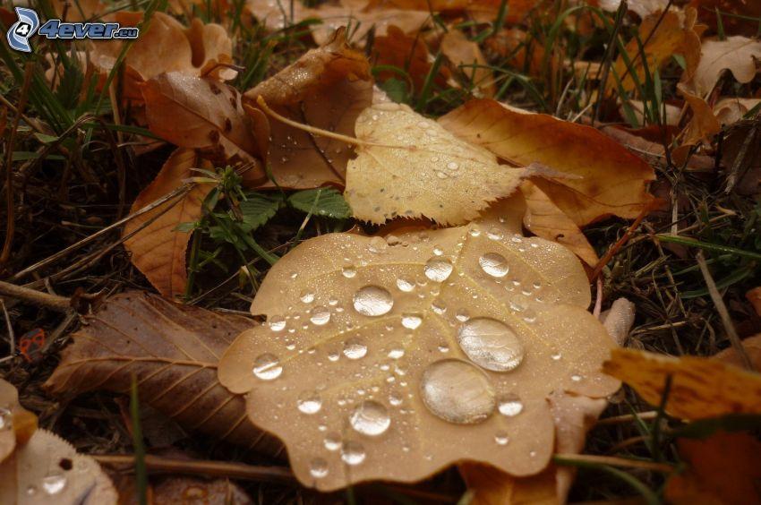 foglie di autunno, gocce d'acqua, rugiada