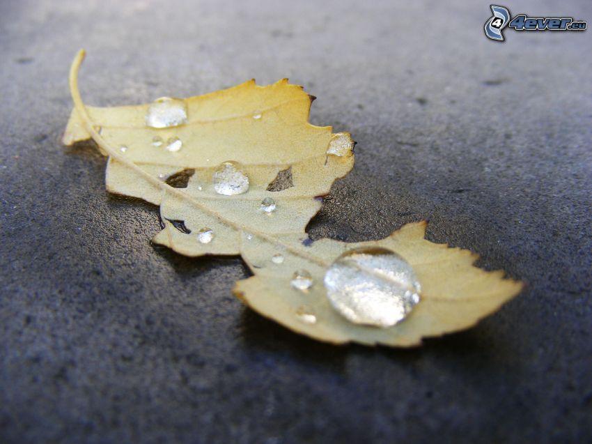 foglie gialle, gocce d'acqua