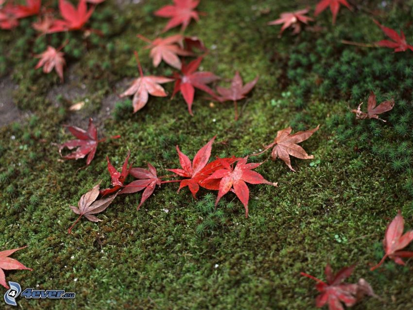foglie rosse, muschio