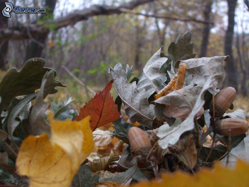foglie secche, ghiande, foresta