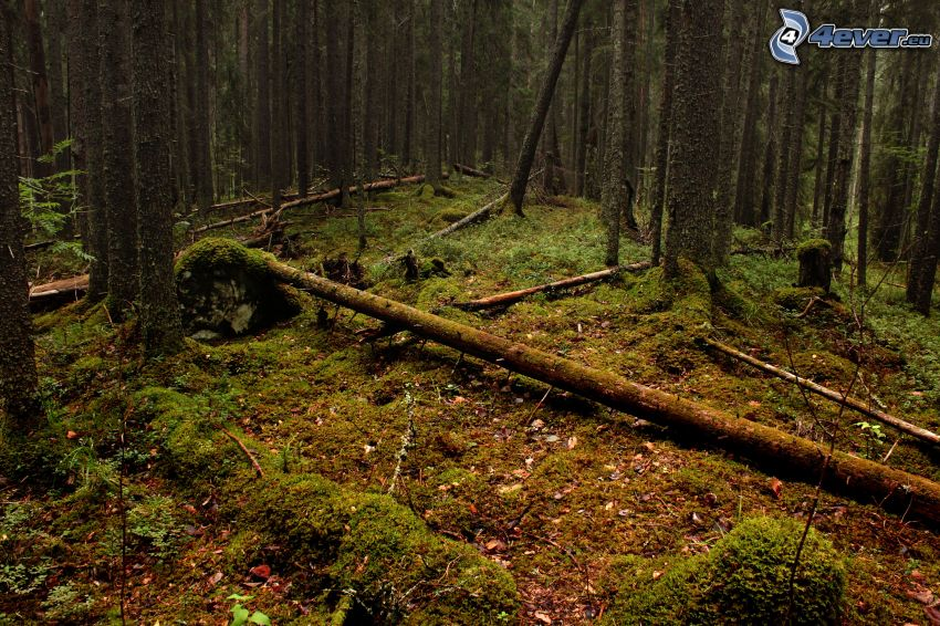 foresta, muschio