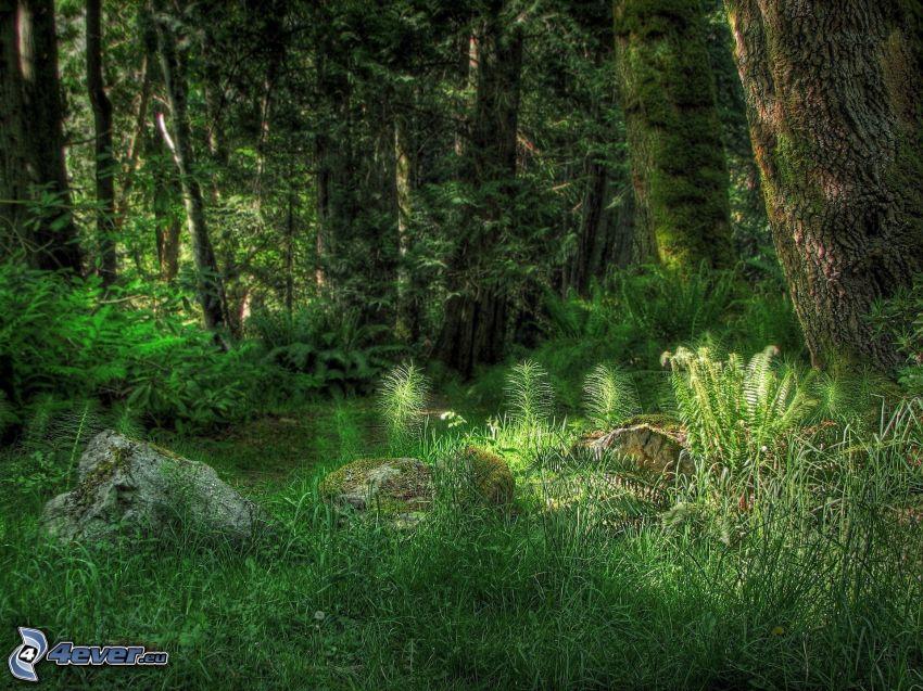 foresta, verde, HDR