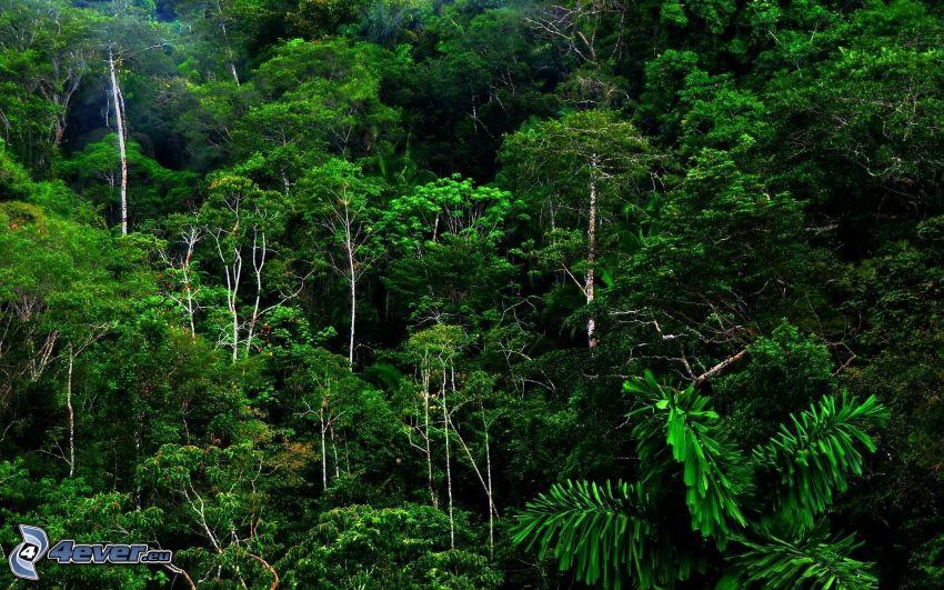foresta pluviale, verde