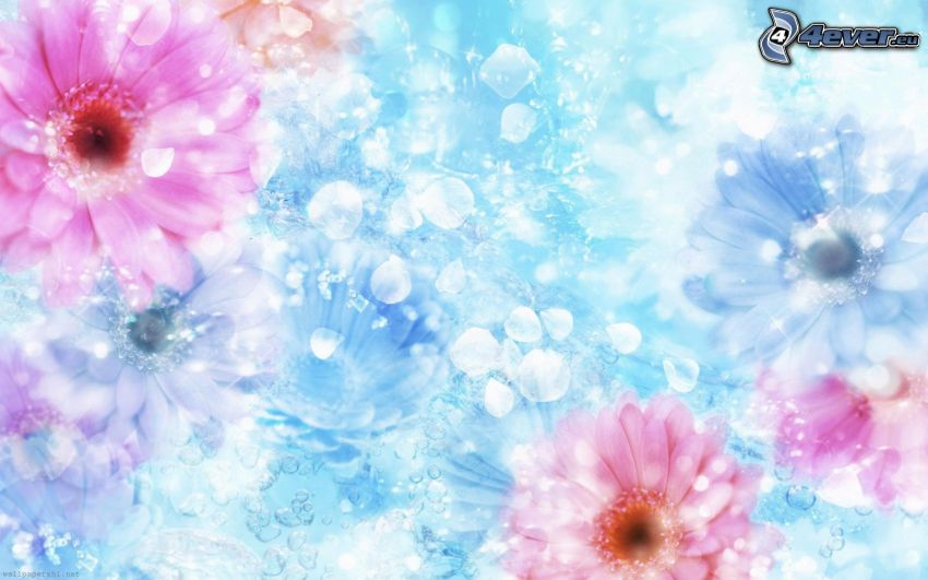 gerbera, petali, sfondo blu
