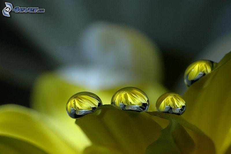 gocce d'acqua, petalo, fiore giallo, macro