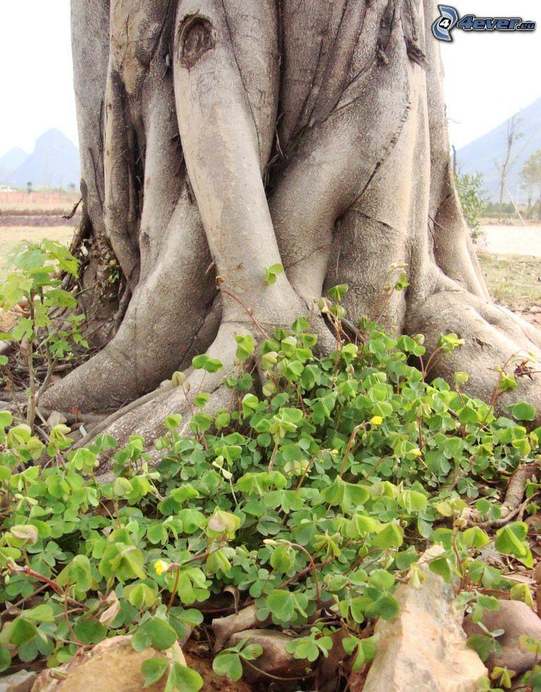 grande albero, tronco, trifoglio