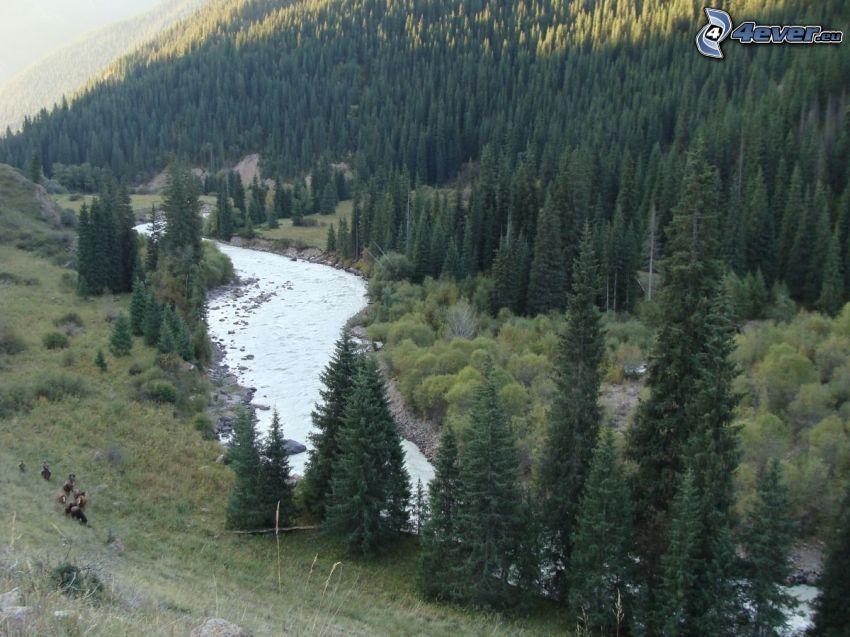 il fiume, bosco di conifere