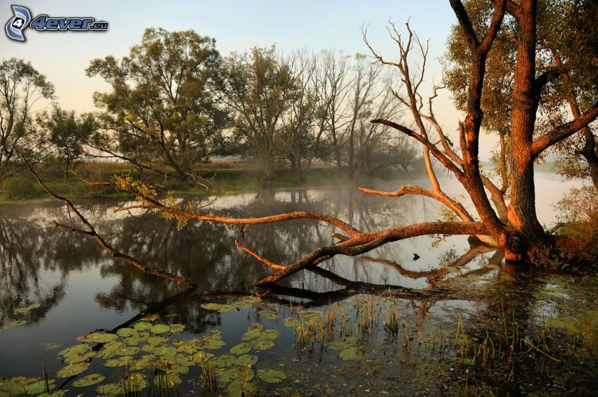 lago, albero, ninfee