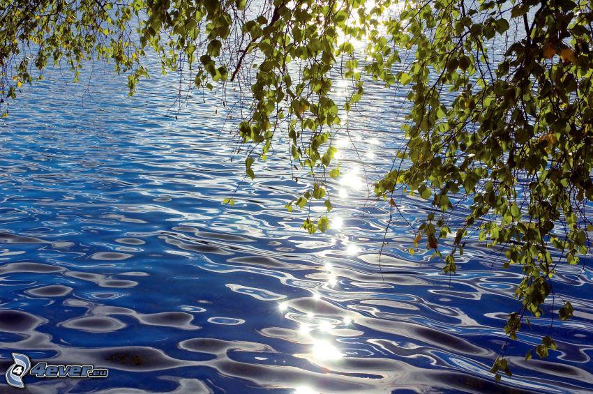 lago, foglie, betulla