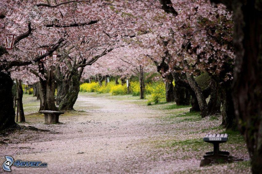 marciapiede, parco, alberi in fiore, panchine