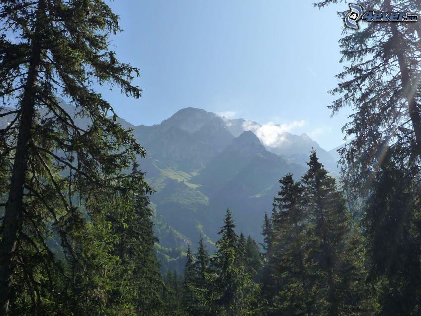 alberi di conifere, montagne
