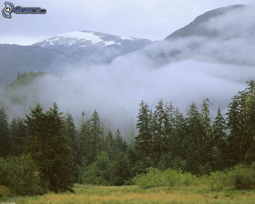 nebbia sopra una foresta, montagne, bosco di conifere