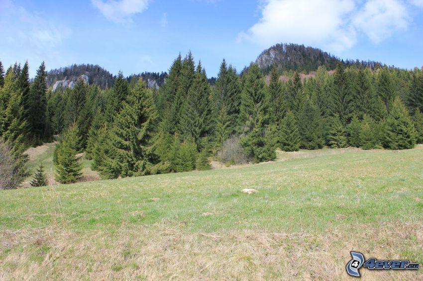 Veľká stožka, bosco di conifere, prato