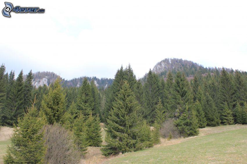 Veľká stožka, bosco di conifere
