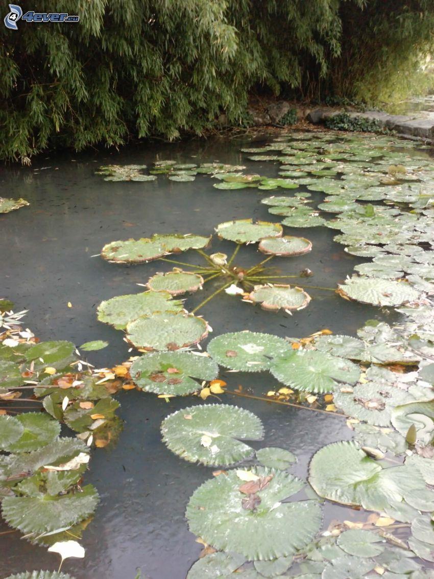 ninfee, il fiume, acqua, lago