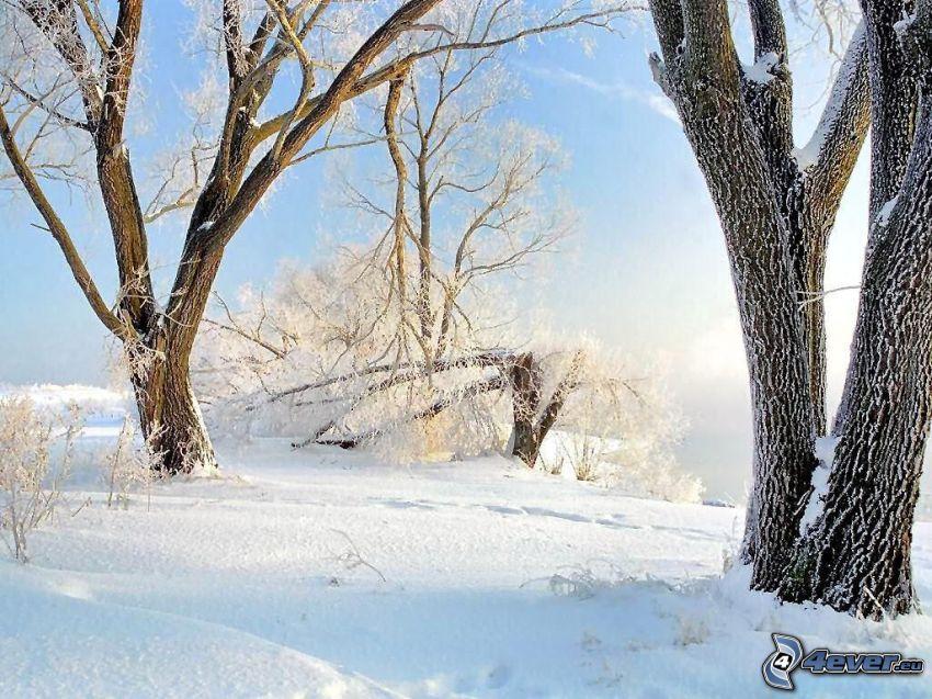 alberi coperti di neve, inverno, rami