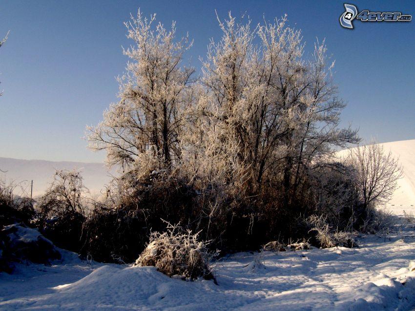alberi coperti di neve, inverno