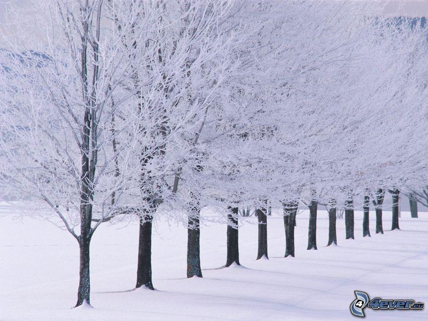 alberi coperti di neve, piantata, inverno, neve