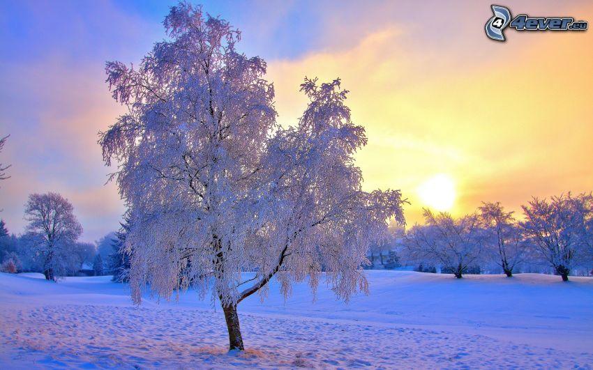 alberi coperti di neve, tramonto, cielo di sera