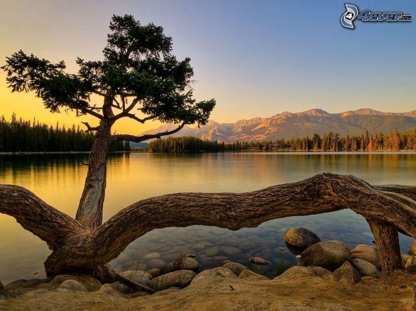 albero sopra un lago, conifera, tramonto, montagne, superficie d'acqua calma, foresta
