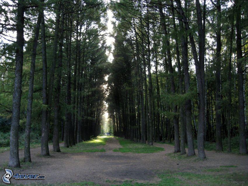 bosco di conifere, viale albero