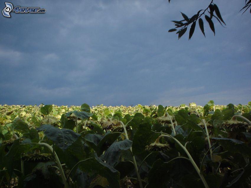 campo di girasole, girasoli, nuvole scure