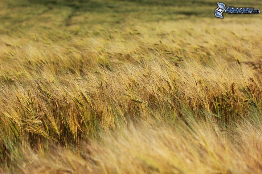 campo di grano, colture