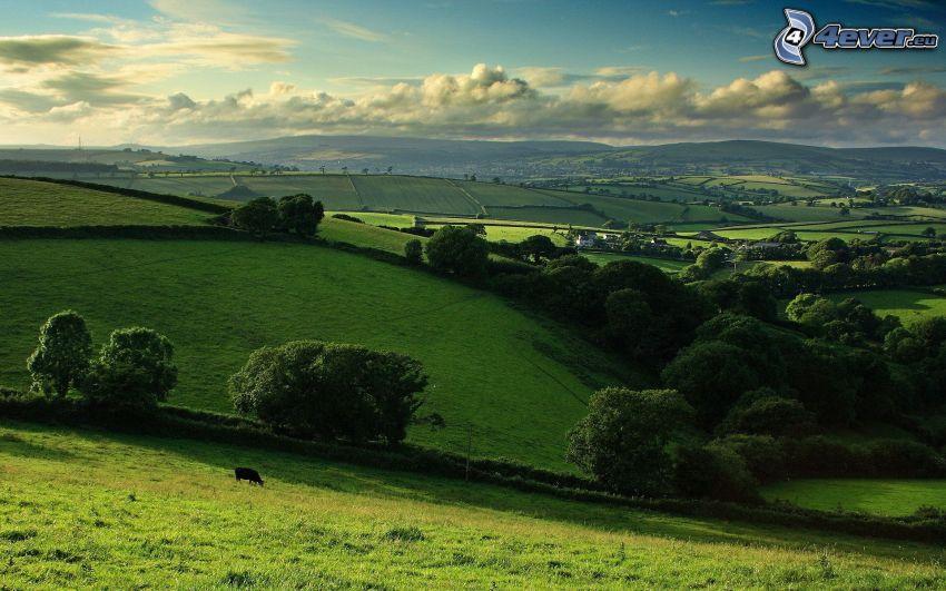 colline, alberi, campi, la vista del paesaggio, mucca