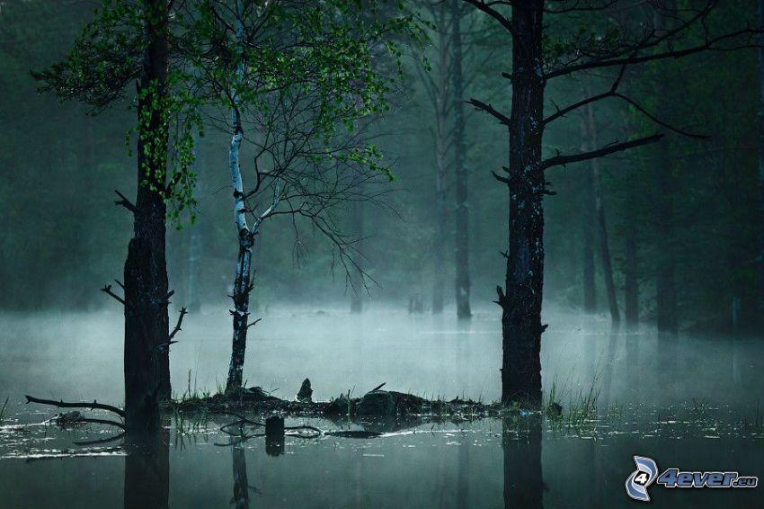 foresta, palude, nebbia a pochi centimetri dal terreno, betulla