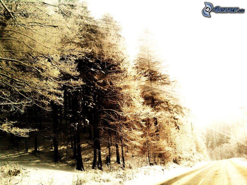 foresta congelata, alberi di conifere, strada, inverno