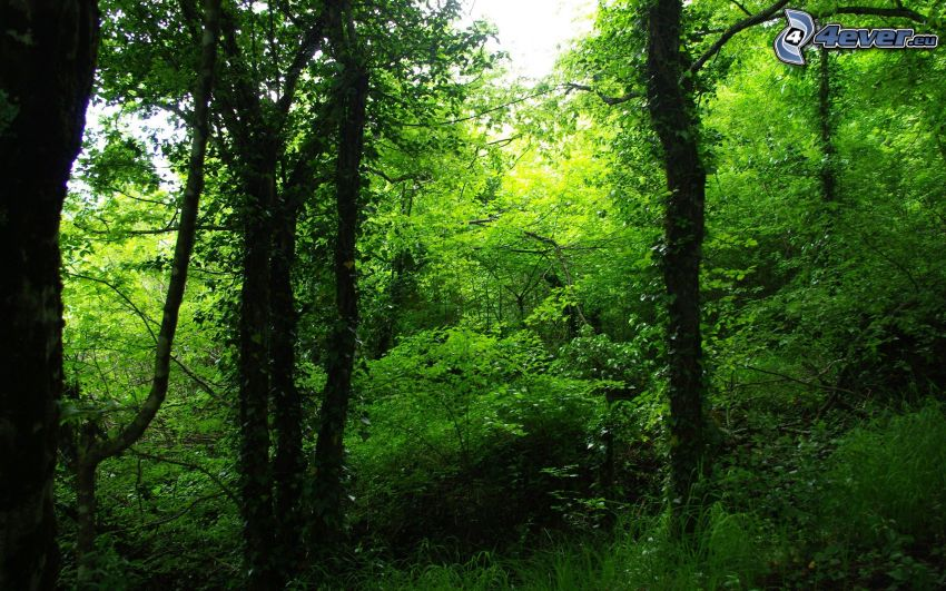 foresta verde, alberi frondiferi, verde