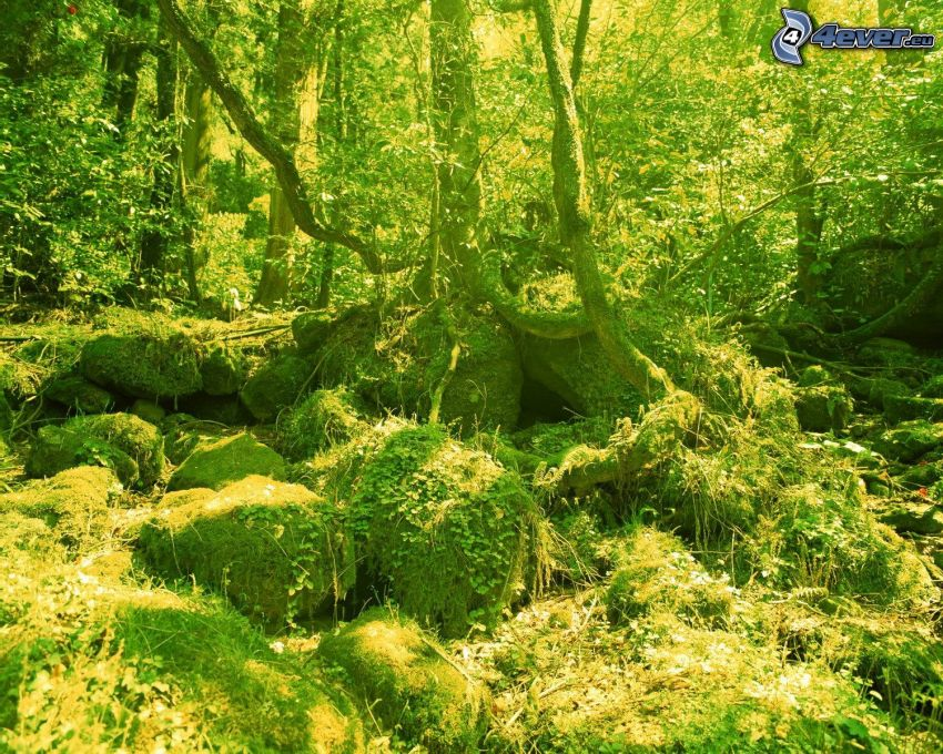 natura verde, foresta, pietre, alberi, muschio