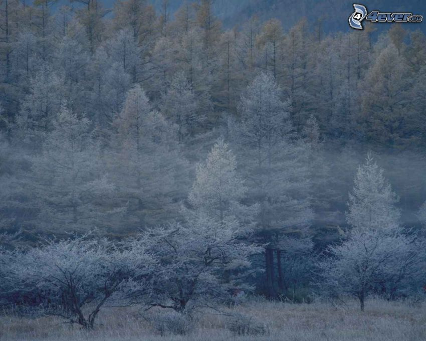 nebbia nella foresta, alberi congelati, inverno
