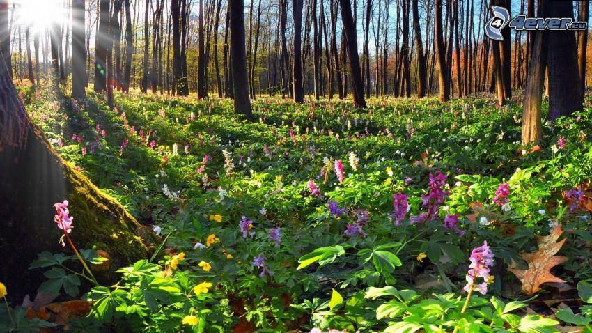 raggi di sole nella foresta, fiori viola