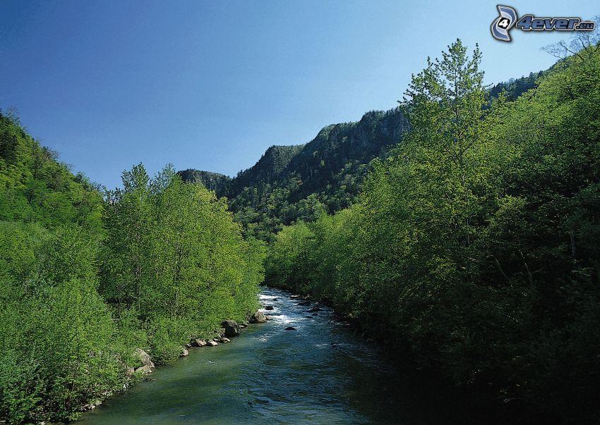 ruscello alpino, il fiume, foresta, Alberi verdi, rivo in un bosco