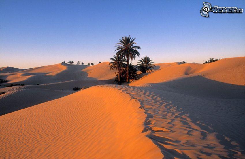 Sahara, palma, deserto
